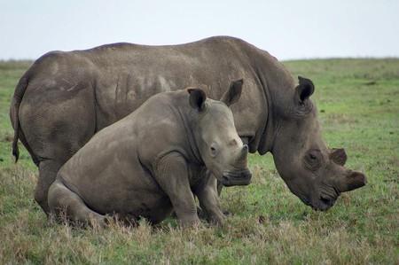 Rhinos at the Ol Pejeta Sanctuary