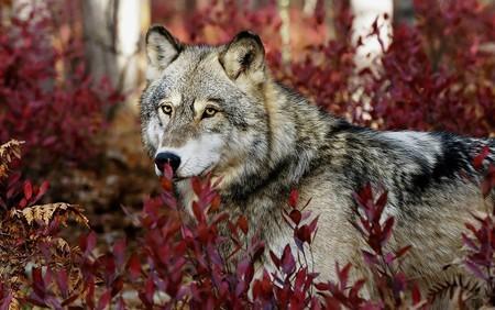 Grey wolf in beautiful red foliage