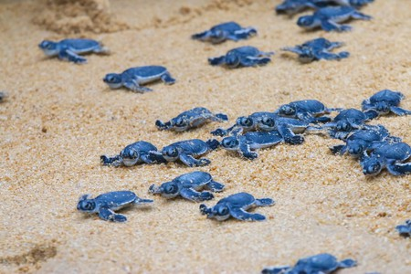 Watch hatchlings break out of their shells and into the sea in Malaysia