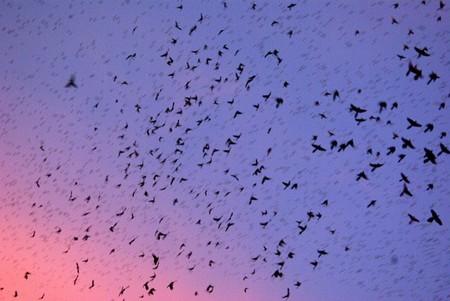 Grackles taking flight over Houston, Texas at dusk