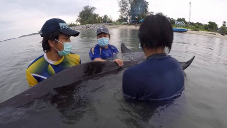 A small pilot whale was found stranded in the Na Thub Canal of Songkhla Province