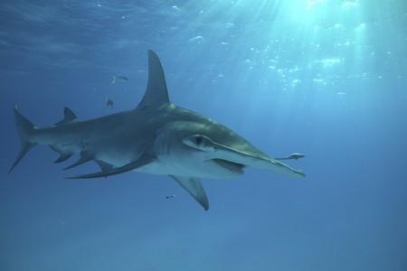 A Great Hammerhead shark swims close to the surface in Bimini, Bahamas.