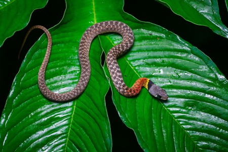 The red-necked keelback is easily spotted and is the most common snake sighted by hikers in the Hong Kong hills.