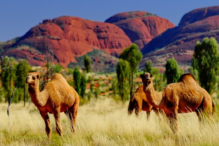 Camels roaming the outback in Australia