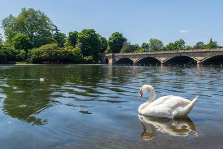 A swan in Hyde Park, London
