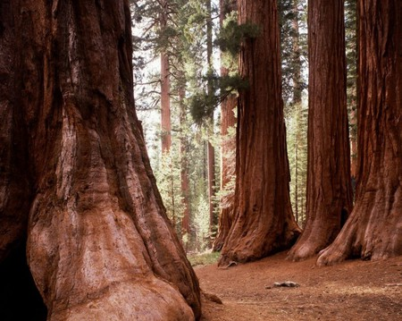 Mariposa Grove contains over 500 giant sequoias.
