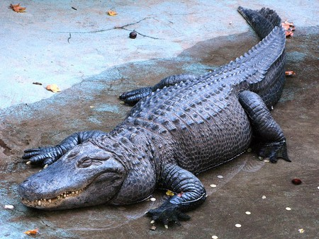 Alligators don't come much older than ol' Muja here