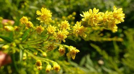 A citronella plant
