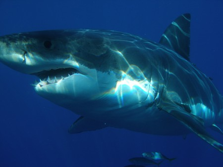 Adult great white sharks have about 300 serrated teeth.