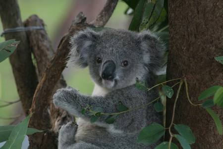 Koala recuperating at the Koala Hospital in Port Macquarie