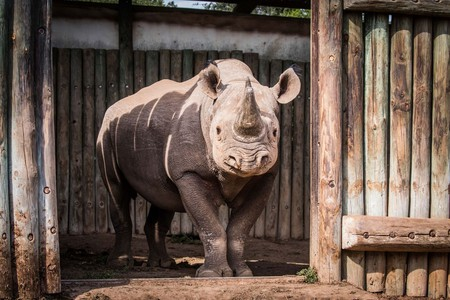 One of six rhinos to be reintroduced to Chad, May 2018