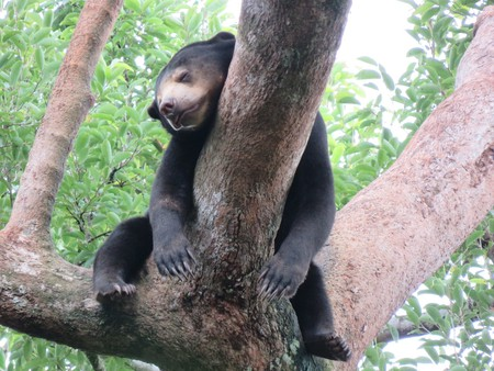 You can help sun bears as part of Phnom Penh's volunteer options.