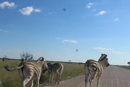 Zebras in the Etosha national park.
