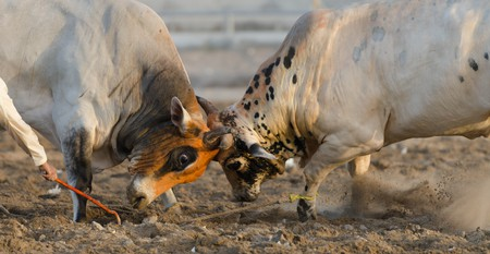 Two bulls lock horns at the Oman Bull fighting event held at Barka arena near Muscat.