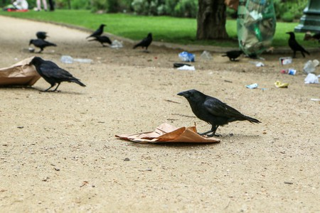 Crows are being trained to collect litter