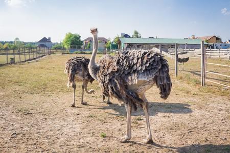 Ostrich birds on ostrich farm countryside