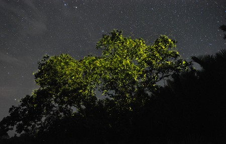 Pteroptyx macdermotti fireflies gathering in the mangroves of Bohol's Abatan river