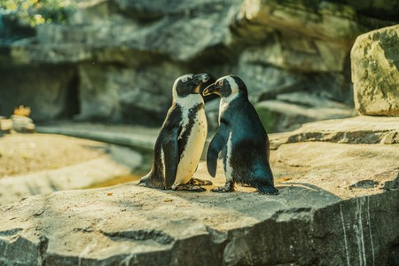 African penguins at Artis Zoo, Amsterdam