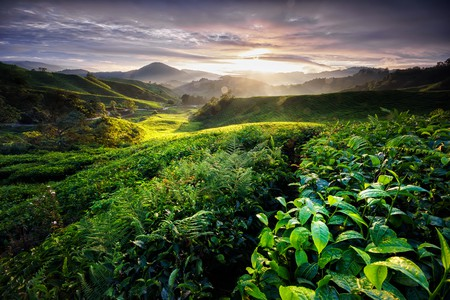 Beautiful view of a tea plantation in the Cameron Highlands