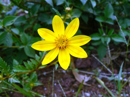 Adey abeba, a flower that grows in Ethiopia only from September to November