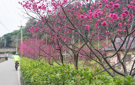 Cherry blossoms in Taian, Taichung