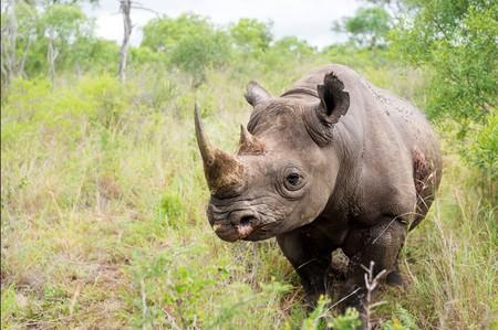 A solitary rhino