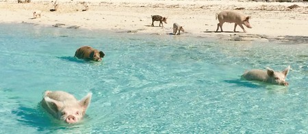 Lots of pigs swimming in the Bahamas