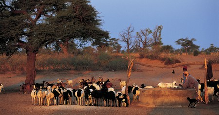 Wolof men tend to their goats