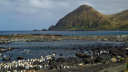 King penguin colony at Sandy Bay, Macquarie Island