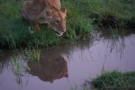 This lion was seen in the wild during a research trip to Maasai Mara