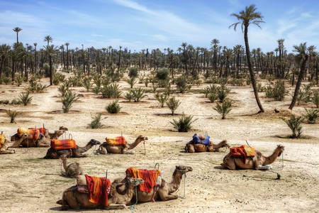 The Resting Camels in Marrakesh, Morocco, Africa