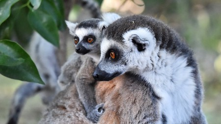 There are more than 100 known species of lemur in Madagascar