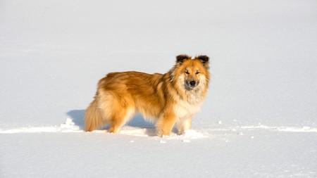 Icelandic Sheepdog, Iceland
