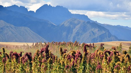 Kiwicha flowers grow in Peru, producing a superfood