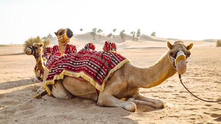 Camels resting on the desert sand, Abu Dhabi