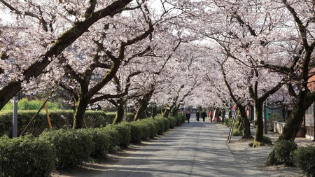The cherry blossoms of Akizuki Sugi-no-baba are beautiful in spring