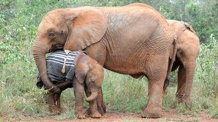 Orphan baby elephants at the David Sheldrick Wildlife Trust in Nairobi, Kenya