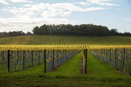 Wine consumption may have gone up during lockdown, but with bars and restaurants closed, wineries such as Denbies Wine Estate, in Surrey, are suffering