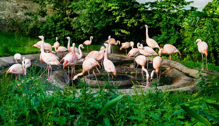 Wading birds, Chilean flamingoes in pond at Edinburgh Zoo, Scotland, UK