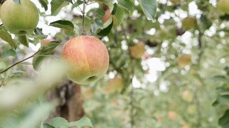 The increasing popularity of cider in Japan has seen Nagano's apple harvest prosper
