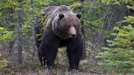 Otherwise known as Bear 122, the Boss has become a common site for visitors to Banff National Park