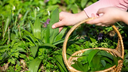 Woman harvesting leaves of fresh bear garlic in the forest