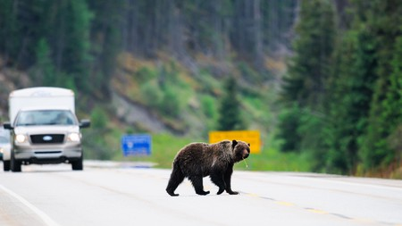 Bears walking along the road are a common sight in Jasper National Park