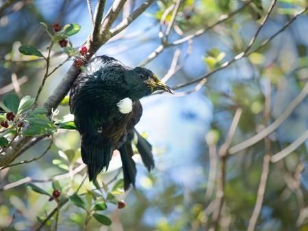 Tui bird perched on a tree branch with red flowers on Tiritiri Matangi Island