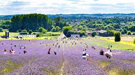 Explore long stretches of aromatic lavender at Hitchin Lavender in Hertfordshire, UK