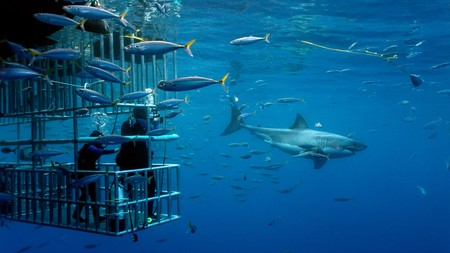 Get your adrenaline fix diving with great white sharks off the California coast