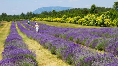 La Seigneurie de l'Île d'Orléans has 75,000 lavender plants
