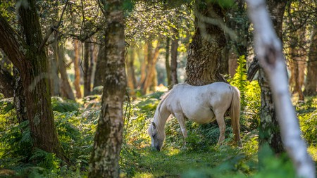 Around 3,000 ponies live in the New Forest National Park
