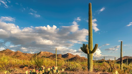 The saguaro cactus, native to the Sonoran Desert in Arizona, makes its mark on the landscape of Saguaro National Park