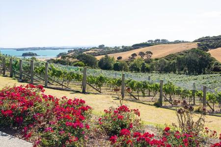 Rows of vines at Cable Bay Vineyards and Restaurant, Nick Johnstone Drive, Oneroa, Waiheke Island, Hauraki Gulf, Auckland, New Zealand